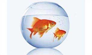 اخبار,اخبار علمی ,ماهی قرمز