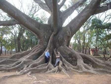 تصاویری از درختان عجیب و غریب