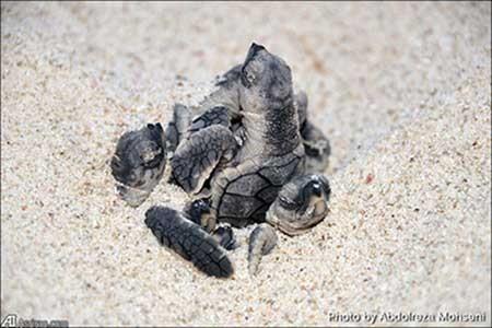 اخبار,اخبارگوناگون ,دنیا آمدن لاک پشت های منطقه لاوان
