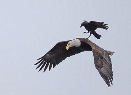 اخبار , اخبار گوناگون,سواری کلاغ روی عقاب,تصاویر سوارشدن کلاغ روی عقاب