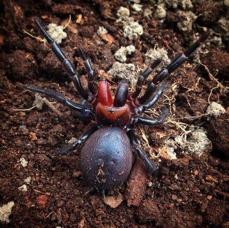 اخبار,اخبار علمی ,عنکبوت دندان قرمز
