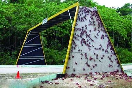 پل مخصوص خرچنگ ها در استرالیا