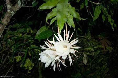 گرانترین گل جهان