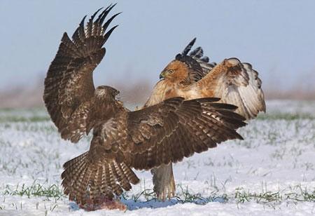 جدال دو عقاب برای تصاحب یک تکه گوشت (+تصایر)