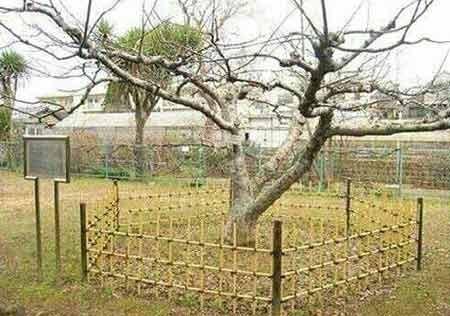 عکس:درختی که سیبش بر سر نیوتن افتاد