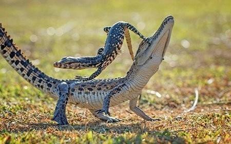 عکسهای جالب,تصاویر جالب,تمساح