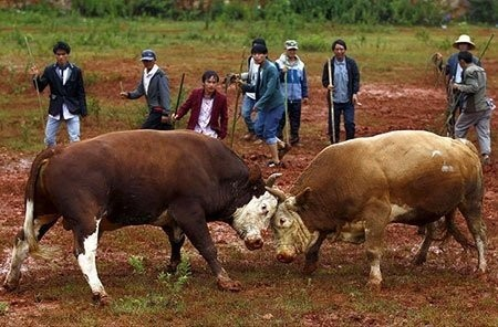 عکسهای جذاب,تصاویر دیدنی, مسابقه سنتی گاو های نر