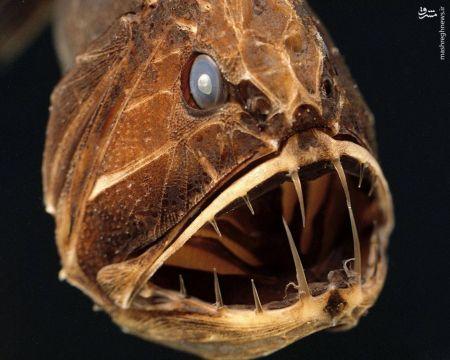 اخبارگوناگون,خبرهای گوناگون,ماهیها دندان نیش