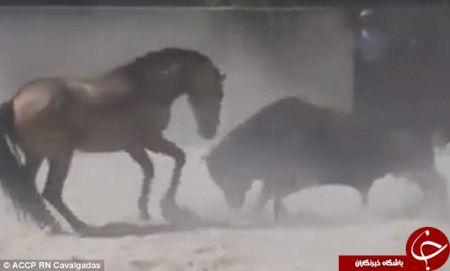 اخبارگوناگون,خبرهای   گوناگون ,مبارزه عجیب اسب و گاو خشمگین