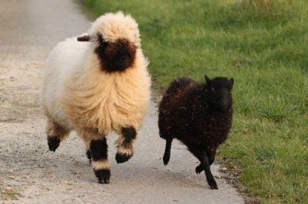 اخبارگوناگون,خبرهای گوناگون,گوسفندان