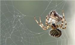 اخبارعلمی ,خبرهای  علمی ,عنکبوت