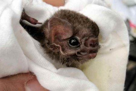 اخبارعلمی ,خبرهای علمی,خفاش های برزیلی