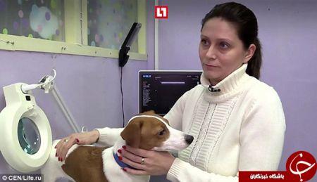 اخبارگوناگون ,خبرهای  گوناگون , سگی که جراحی پلاستیک شد