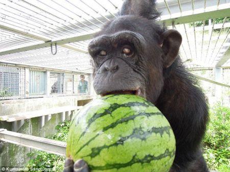 جفت گیری شامپانزه ابتلای یک شامپانزه به تریزومی 22