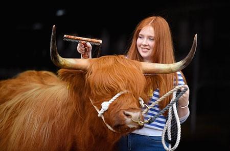 عکسهای جالب,عکسهای جذاب,زیباترین گاو