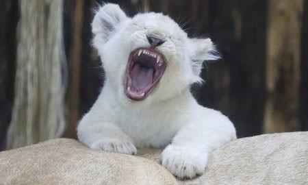 تصاویر دیدنی,تصاویر جالب, توله شیر سفید