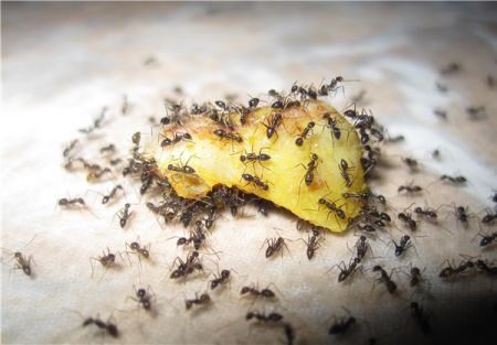 اخبار,اخبار علمی وآموزشی,وزن مورچههای زمین از وزن همه انسانها بیشتر است