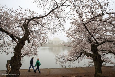 شکوفه های گیلاس در واشنگتن