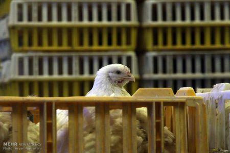 قیمت مرغ به ۷۷۰۰ تومان رسید/آغاز روند کاهش قیمت از ۳ روز دیگر