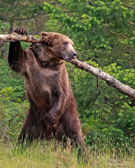 اخبار,اخبار گوناگون,خرس گریزلی