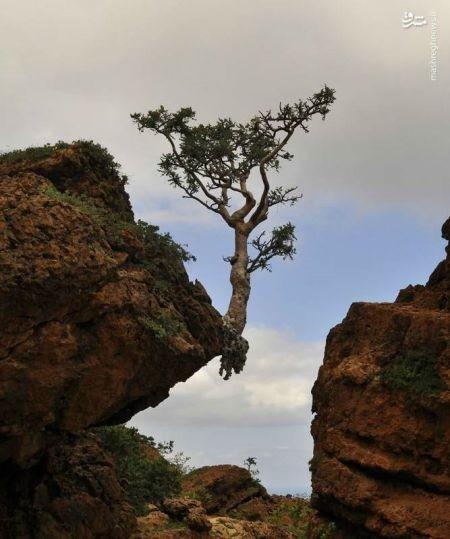 اخبار گوناگون ,خبرهای گوناگون , عجیبترین درختان دنیا