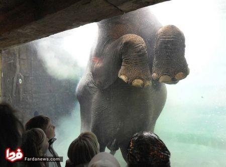 اخبار گوناگون,خبرهای  گوناگون, آکواریومی برای شنای فیلها