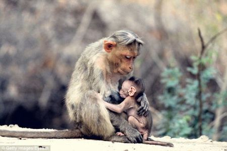 اخبارعلمی ,خبرهای  علمی ,میمونها