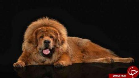اخبار,اخبارگوناگون, گرانترین سگهای جهان