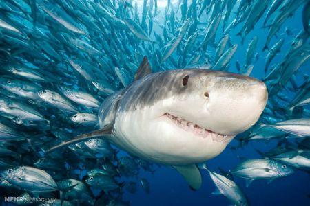 آلاینده های صوتی ماهی ها را در مقابل شکارچیان آسیب پذیر می کند