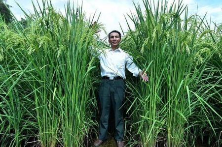 اخبارعلمی ,خبرهای علمی , برنج ۲ متری