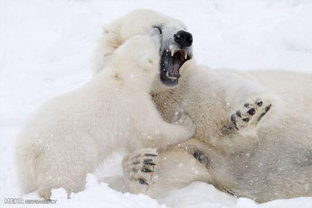 بازی توله خرس قطبی با مادرش