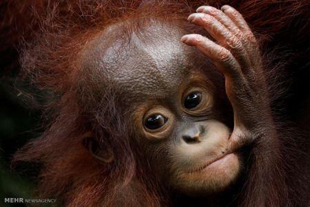 اخبار,اخبار گوناگون,بچه های حیوانات باغ وحش سنگاپور