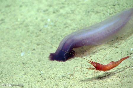 اخبار,اخبار گوناگون,گونه های حیات در اعماق خلیج مکزیک