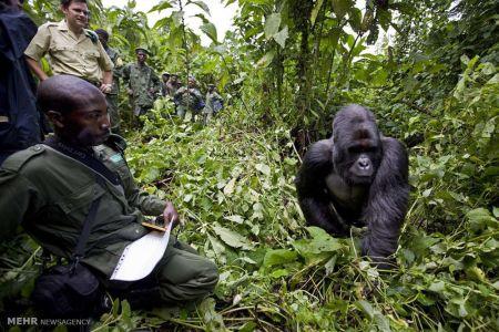 اخبار,اخبار گوناگون,گوریل های کوهی جمهوری کنگو