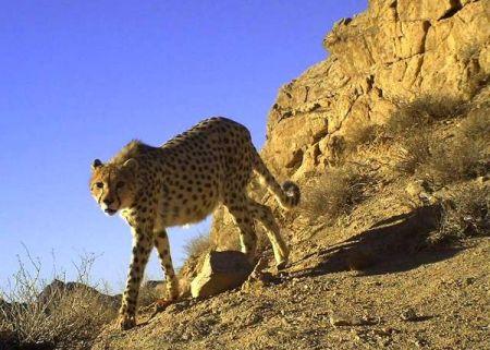 خشکسالی مهمترین عامل تهدیدکننده حیات وحش ایران/ هشت گونه گربهسان در ایران وجود دارد