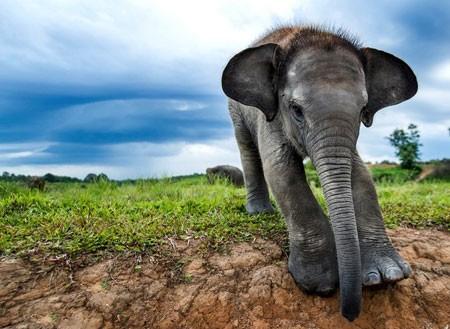 عکسهای جالب,عکسهای جذاب, فیل سوماترایی