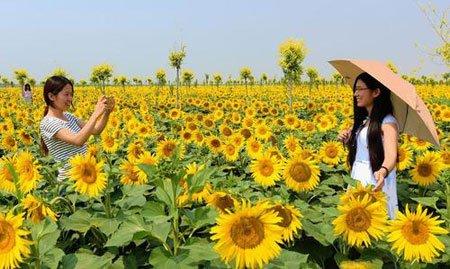 عکسهای جالب,عکسهای جذاب, مزرعه گل آفتابگردان