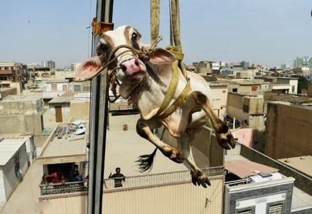 عکسهای جالب,عکسهای جذاب, انتقال گوساله با جرثقیل