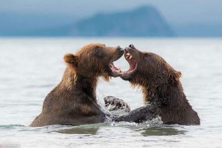 عکسهای جالب,عکسهای جذاب,خرسهای قهوهای