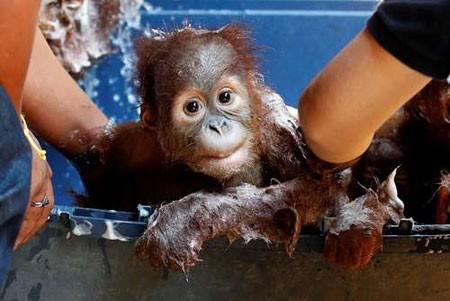 عکسهای جالب,عکسهای جذاب, بچه آرانگوتا