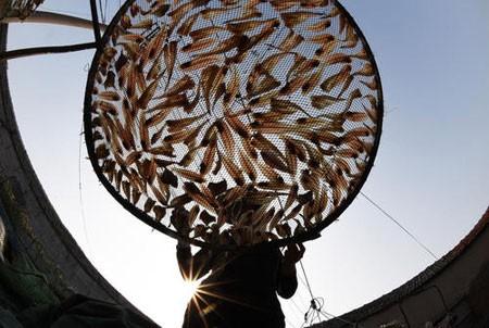 عکسهای جالب,عکسهای جذاب, خشک کردن ماهی