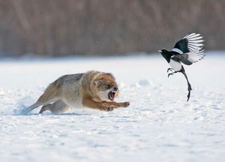 عکسهای جالب,عکسهای جذاب,حمله یک شغال به یک پرنده