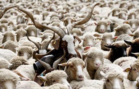 عکسهای جالب,عکسهای جذاب, گوسفند