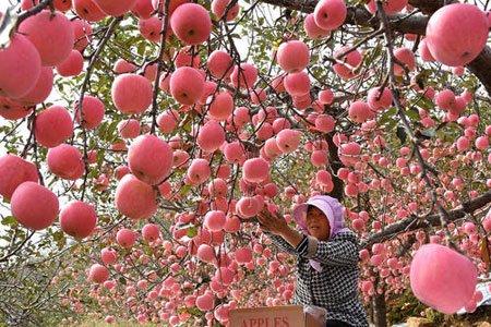 عکسهای جالب,عکسهای جذاب,باغ سیب