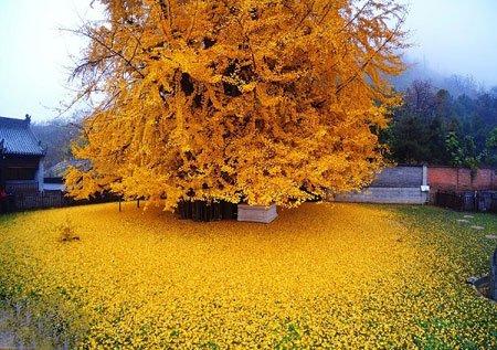 عکسهای جالب,عکسهای جذاب, درخت 1400 جینکو