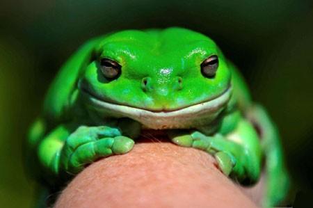 عکسهای جالب,عکسهای جذاب,قورباغه سبز درختی