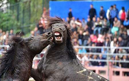 عکسهای جالب,عکسهای جذاب, فستیوال سنتی نبرد اسب ها