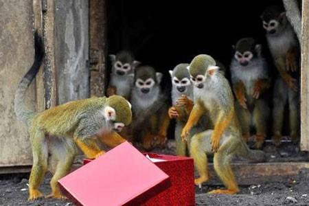 عکسهای جالب,عکسهای جذاب,هدایای کریسمسی میمون ها