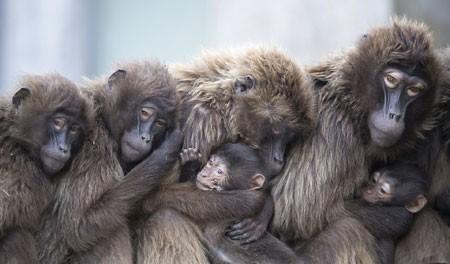 عکسهای جالب,عکسهای جذاب, خانواده میمون