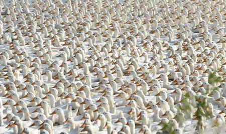عکسهای جالب,عکسهای جذاب,اردک های سفید